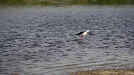 Szczudłak z Delty Dunaju – film z odgłosami