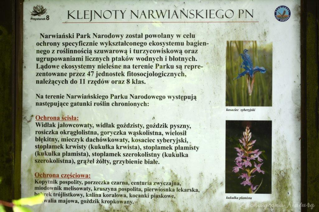 Błotniaki stawowe i kukułki nad bagnami Narwiańskiego Parku Narodowego (1)