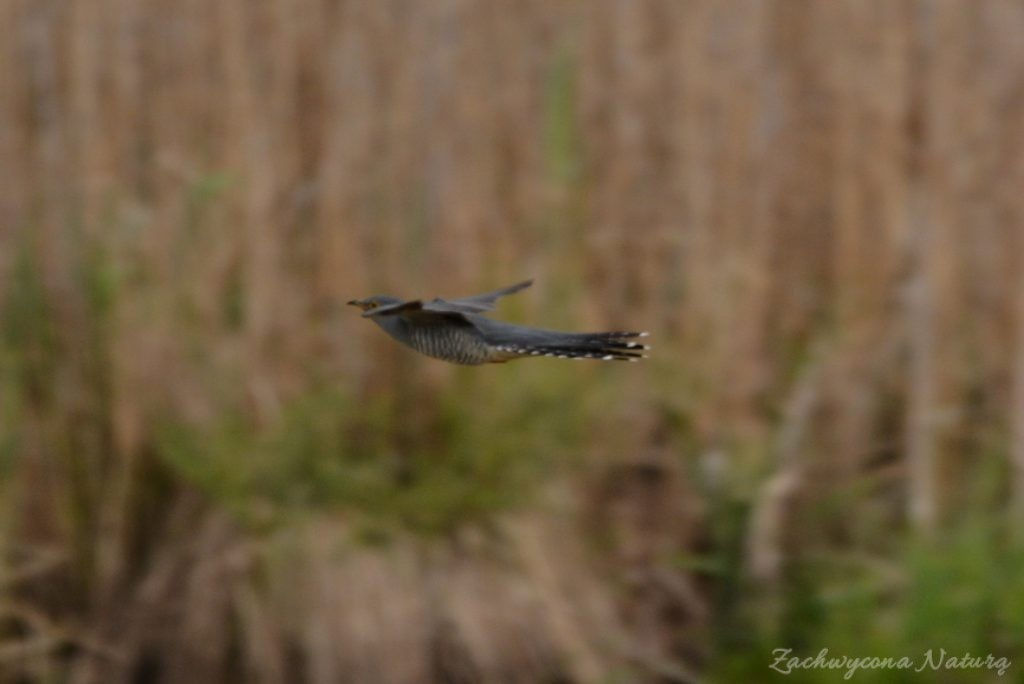 Błotniaki stawowe i kukułki nad bagnami Narwiańskiego Parku Narodowego (14)