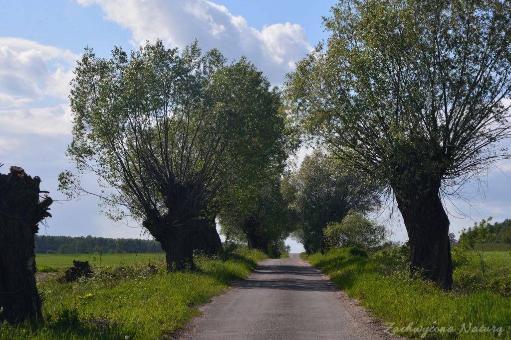 Błotniaki stawowe i kukułki nad bagnami Narwiańskiego Parku Narodowego (28)