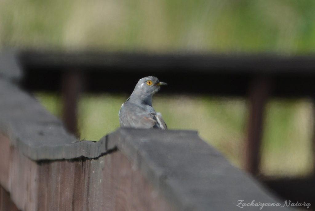 Błotniaki stawowe i kukułki nad bagnami Narwiańskiego Parku Narodowego (4)