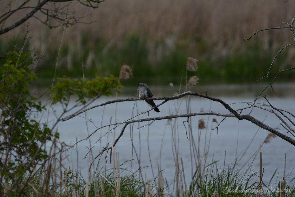 Błotniaki stawowe i kukułki nad bagnami Narwiańskiego Parku Narodowego (7)