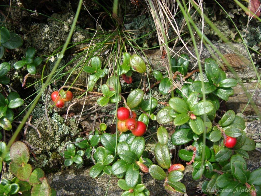 (Borówka brusznica (Vaccinium vitis-idea)