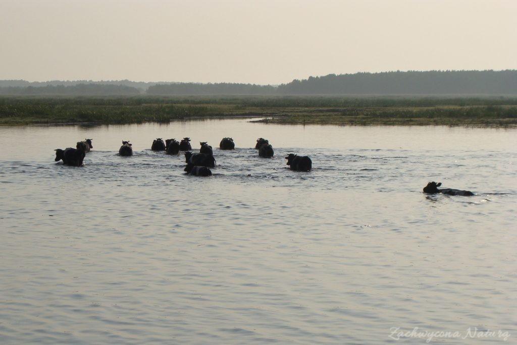 Migracja polskich bizonów z Brzostowa (1)