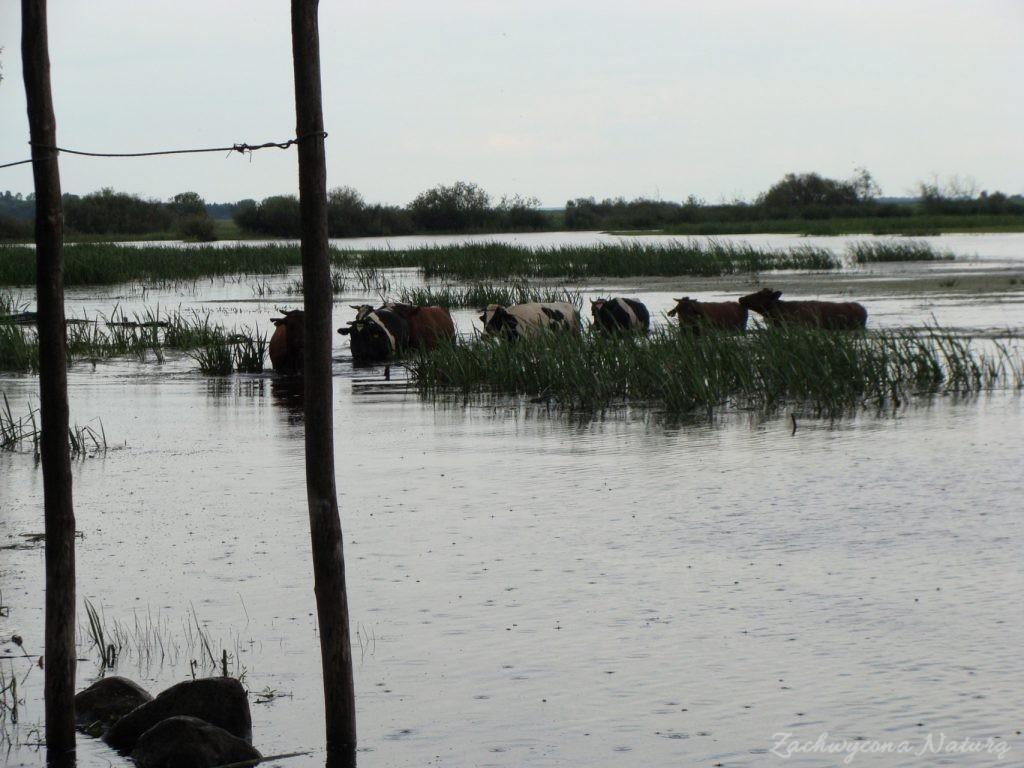 Migracja polskich bizonów z Brzostowa (11)
