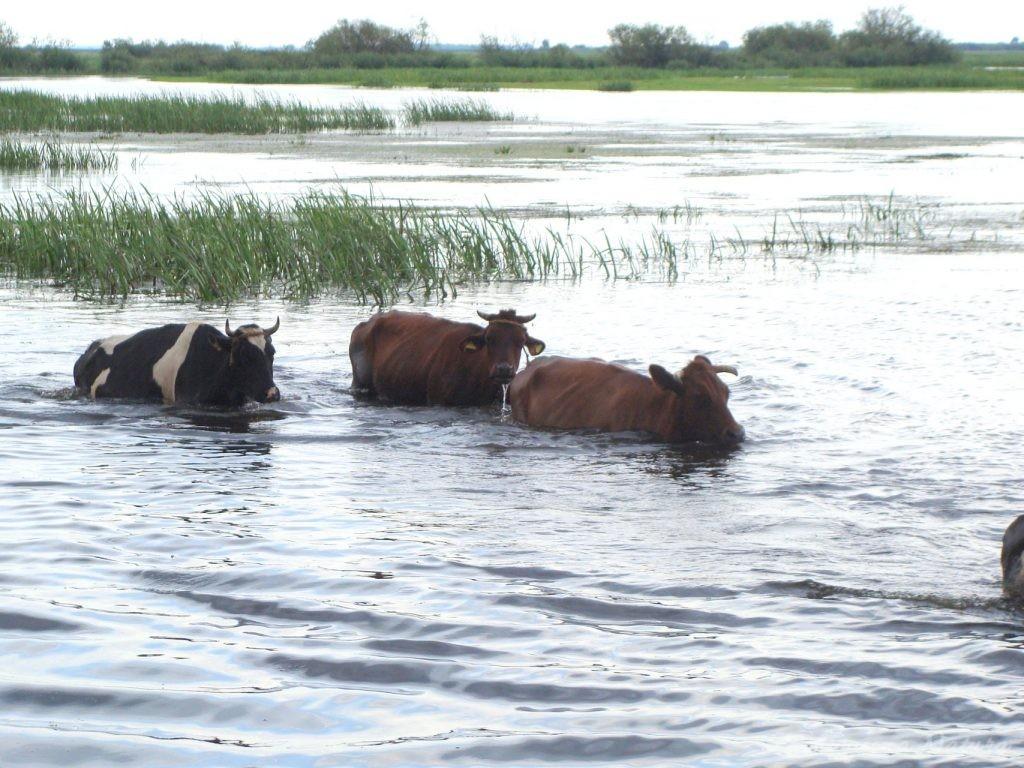 Migracja polskich bizonów z Brzostowa (13)