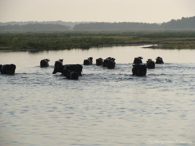 Migracja polskich bizonów z Brzostowa (2)