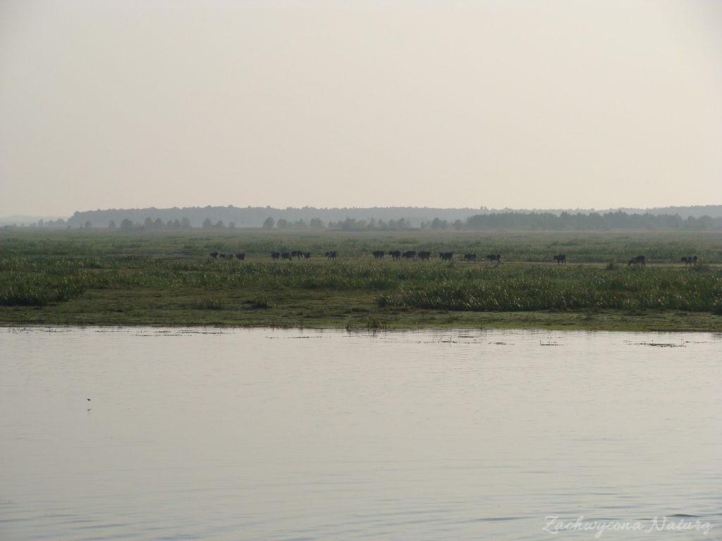 Migracja polskich bizonów z Brzostowa (3)