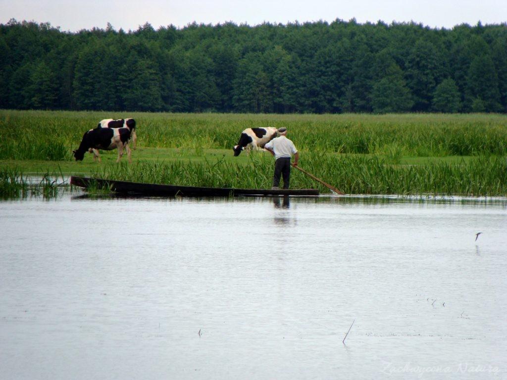 Migracja polskich bizonów z Brzostowa (5)