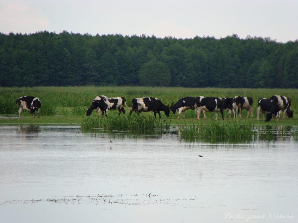 Migracja polskich bizonów z Brzostowa (6)