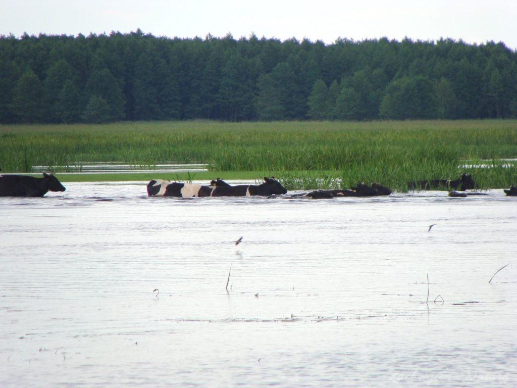 Migracja polskich bizonów z Brzostowa (7)