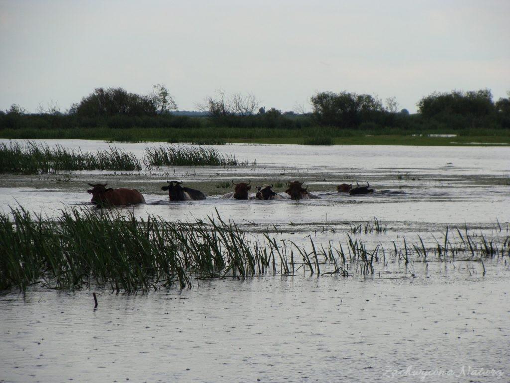 Migracja polskich bizonów z Brzostowa (8)