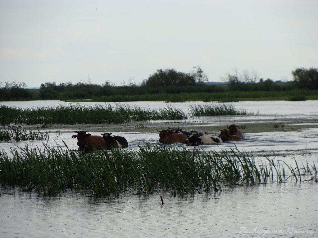 Migracja polskich bizonów z Brzostowa (9)