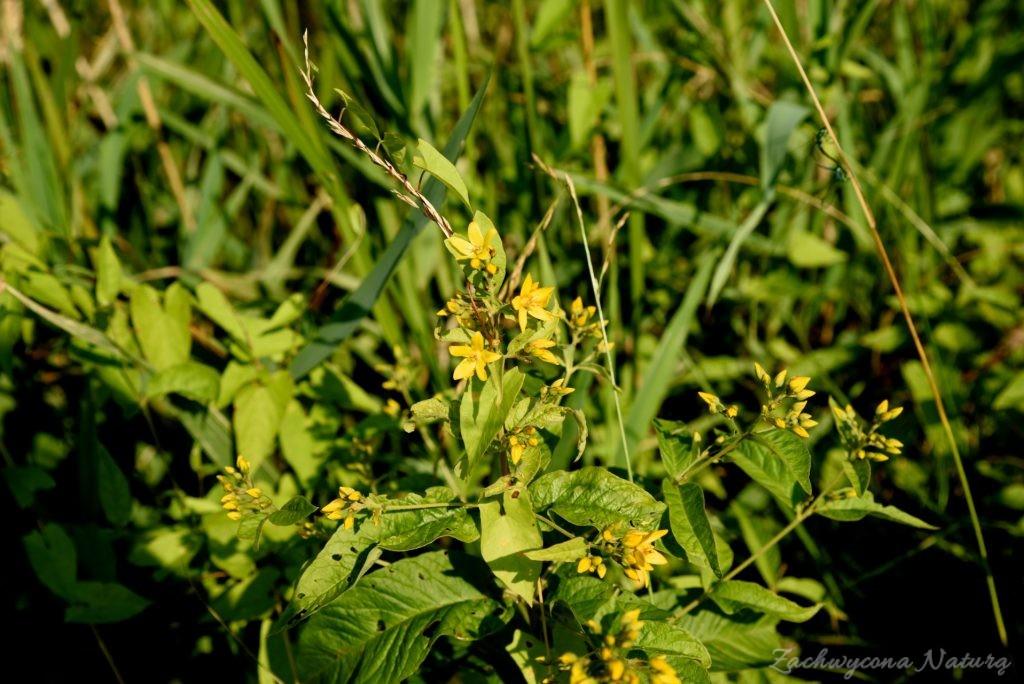 Tojeść pospolita (Lysimachia vulgaris)