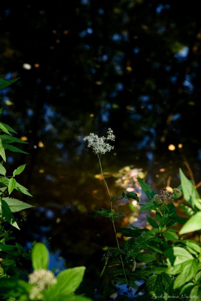 Wiązówka błotna (Filipendula ulmaria))