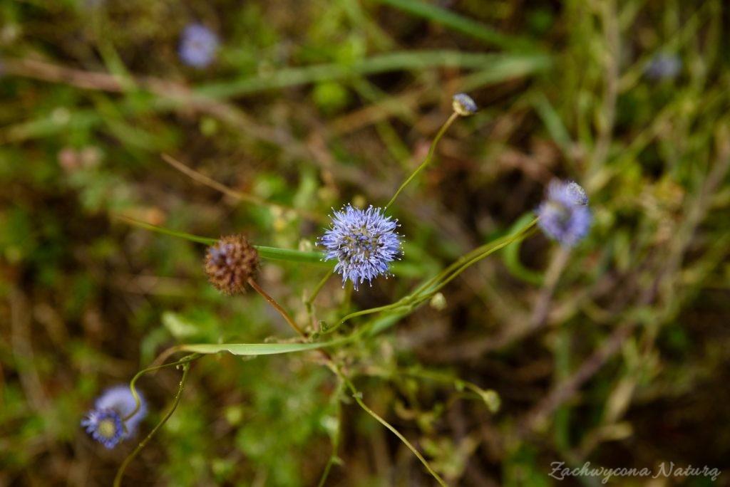 Jasieniec piaskowy (Jasione montana)