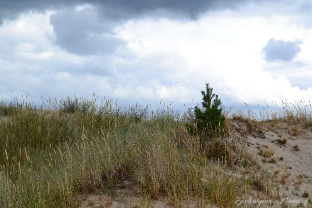 Ruchome wydmy w Słowińskim Parku Narodowym (58)
