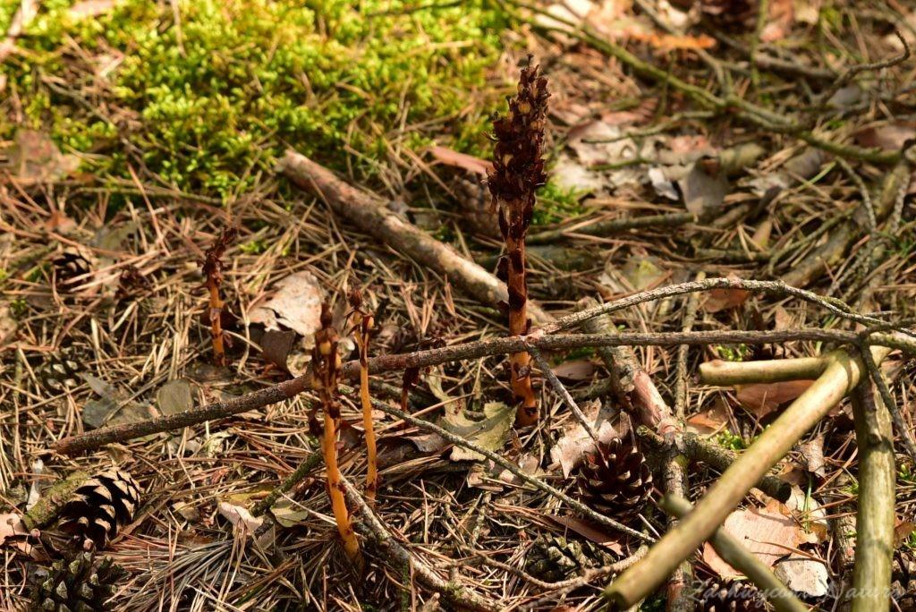 Korzeniówka -roślina, która pasożytuje na grzybach!