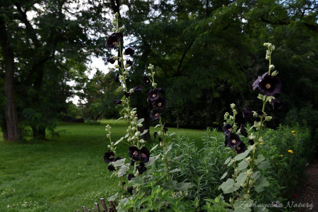 Ogródek przydomowy w skansenie w Łódzkim Ogrodzie Botanicznym (10)