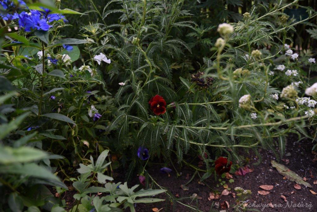 Ogródek przydomowy w skansenie w Łódzkim Ogrodzie Botanicznym (15)