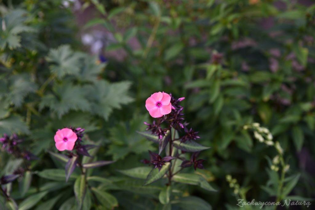 Ogródek przydomowy w skansenie w Łódzkim Ogrodzie Botanicznym (18)