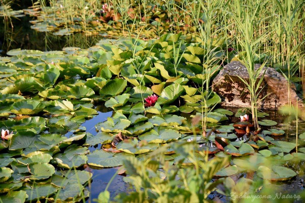 Stawy w Łódzkim Ogrodzie botanicznym (11)