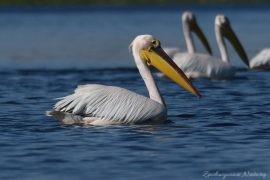 2 Gatunki pelikanów z Delty Dunaju – różowe i kędzierzawe (5)