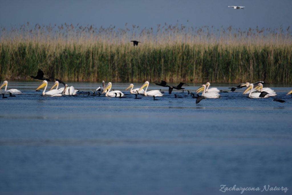 2 Gatunki pelikanów z Delty Dunaju - różowe i kędzierzawe (1)