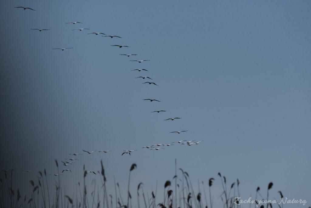 2 Gatunki pelikanów z Delty Dunaju - różowe i kędzierzawe (10)