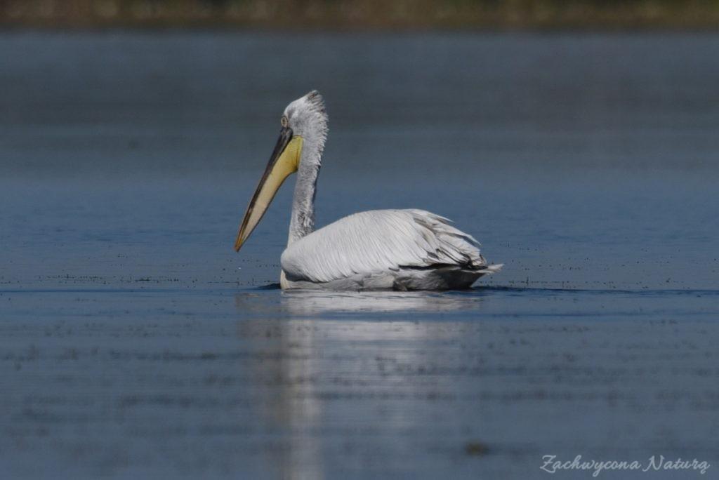 2 Gatunki pelikanów z Delty Dunaju - różowe i kędzierzawe (11)