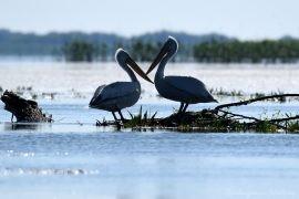 2 Gatunki pelikanów z Delty Dunaju - różowe i kędzierzawe (12)