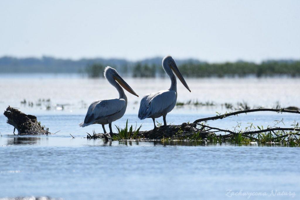 2 Gatunki pelikanów z Delty Dunaju - różowe i kędzierzawe (13)