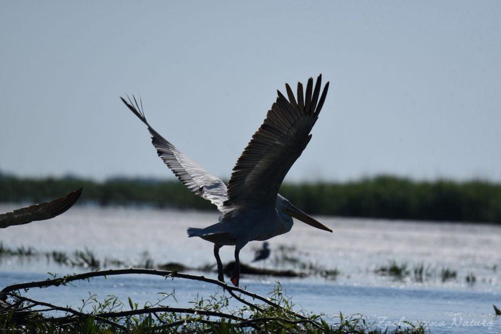 2 Gatunki pelikanów z Delty Dunaju - różowe i kędzierzawe (14)