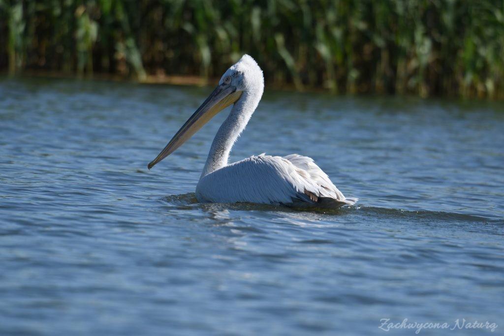 2 Gatunki pelikanów z Delty Dunaju - różowe i kędzierzawe (15)