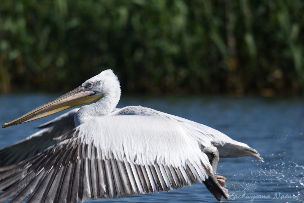 2 Gatunki pelikanów z Delty Dunaju - różowe i kędzierzawe (16)