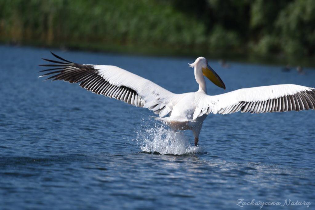 2 Gatunki pelikanów z Delty Dunaju - różowe i kędzierzawe (17)