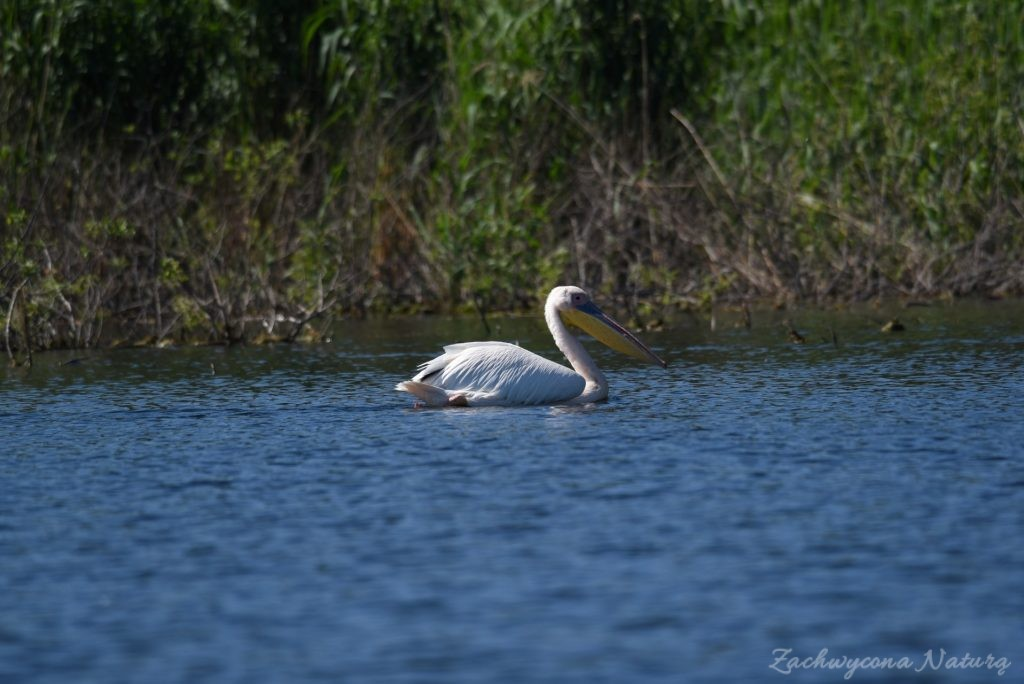 2 Gatunki pelikanów z Delty Dunaju - różowe i kędzierzawe (18)