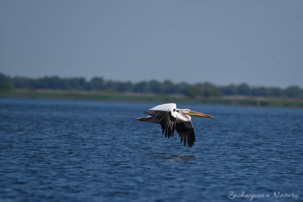 2 Gatunki pelikanów z Delty Dunaju - różowe i kędzierzawe (19)