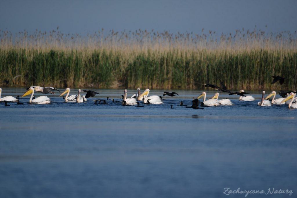 2 Gatunki pelikanów z Delty Dunaju - różowe i kędzierzawe (2)