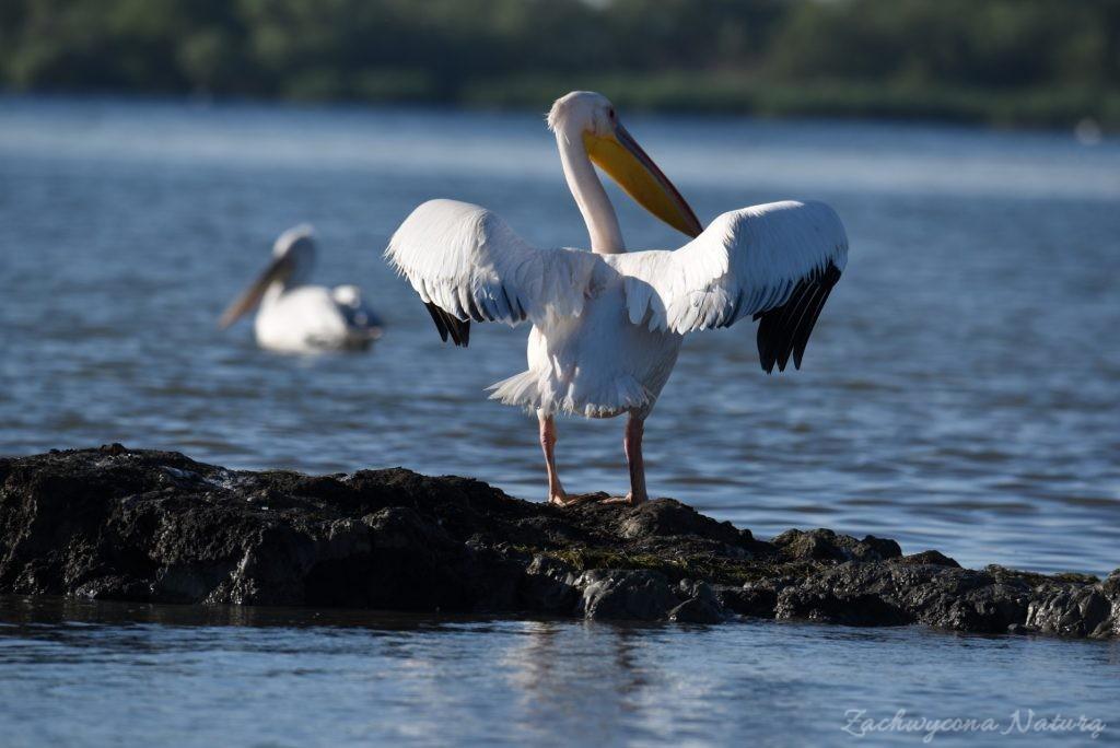 2 Gatunki pelikanów z Delty Dunaju - różowe i kędzierzawe (20)
