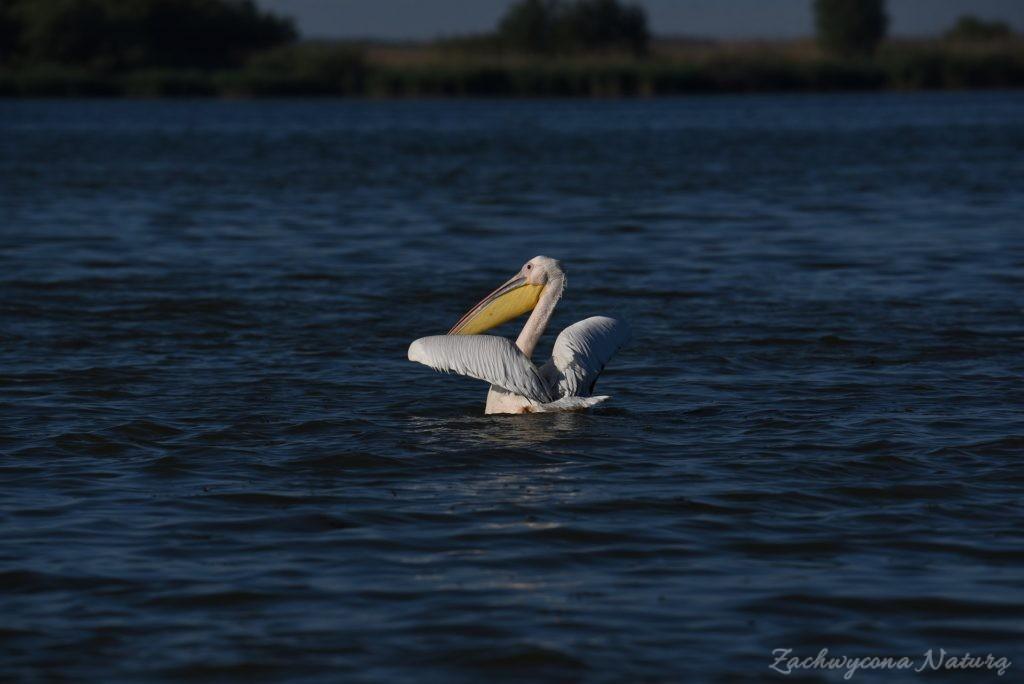 2 Gatunki pelikanów z Delty Dunaju - różowe i kędzierzawe (21)