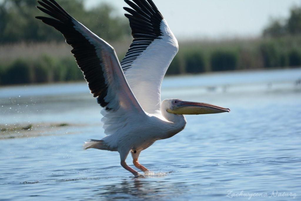 2 Gatunki pelikanów z Delty Dunaju - różowe i kędzierzawe (22)