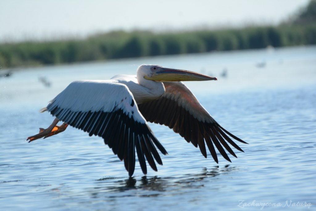2 Gatunki pelikanów z Delty Dunaju - różowe i kędzierzawe (23)