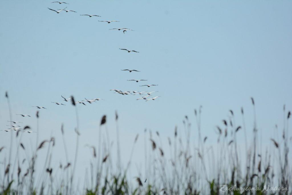 2 Gatunki pelikanów z Delty Dunaju - różowe i kędzierzawe (24)