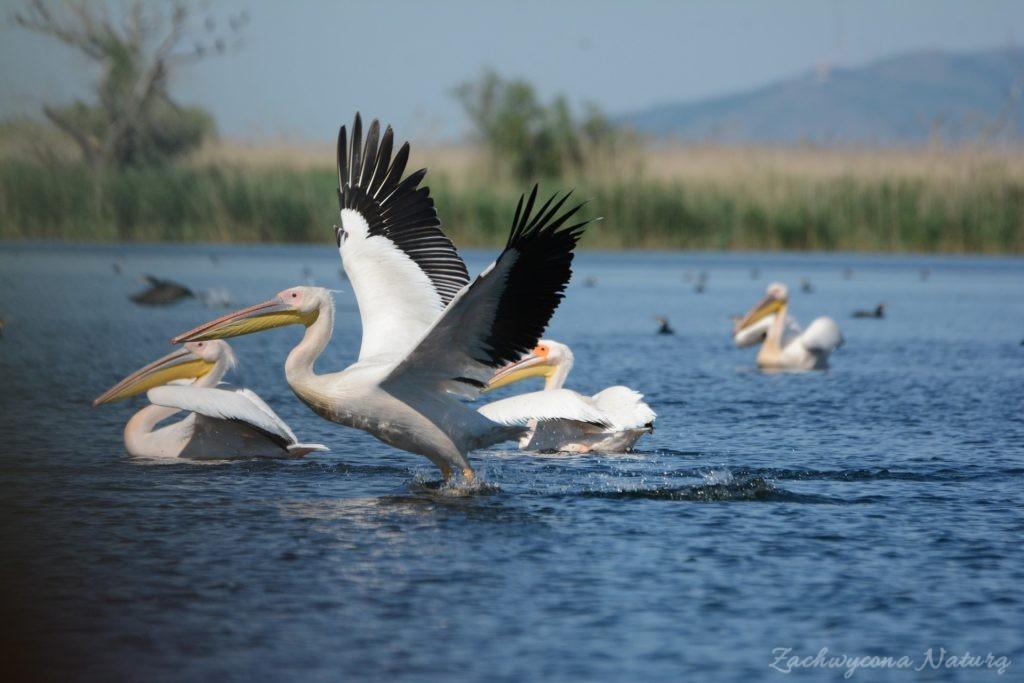 2 Gatunki pelikanów z Delty Dunaju - różowe i kędzierzawe (26)
