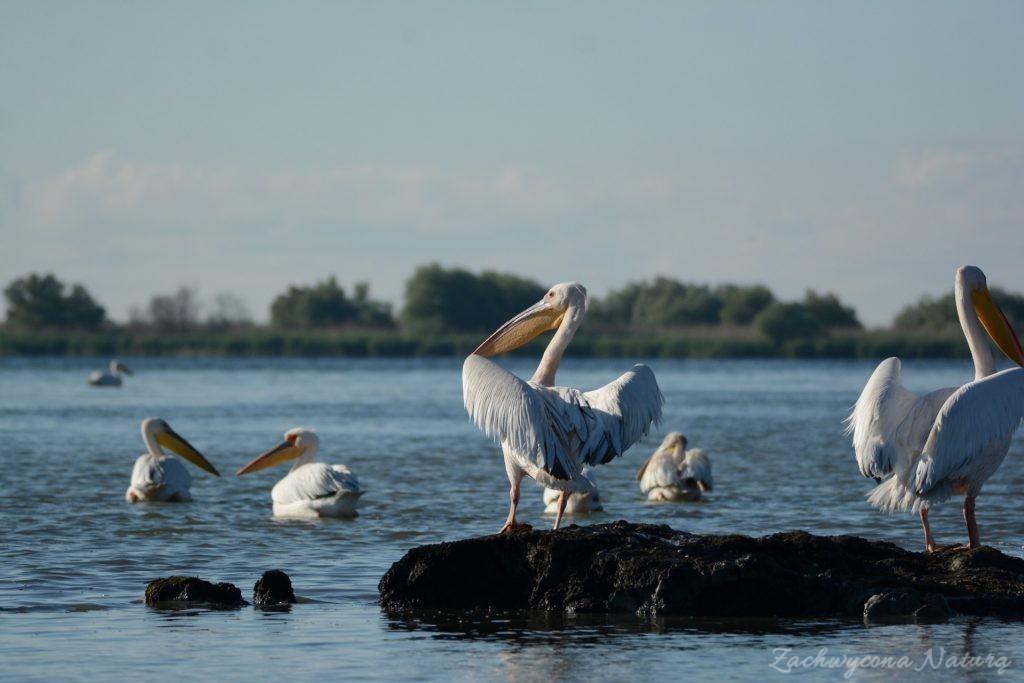 2 Gatunki pelikanów z Delty Dunaju - różowe i kędzierzawe (27)