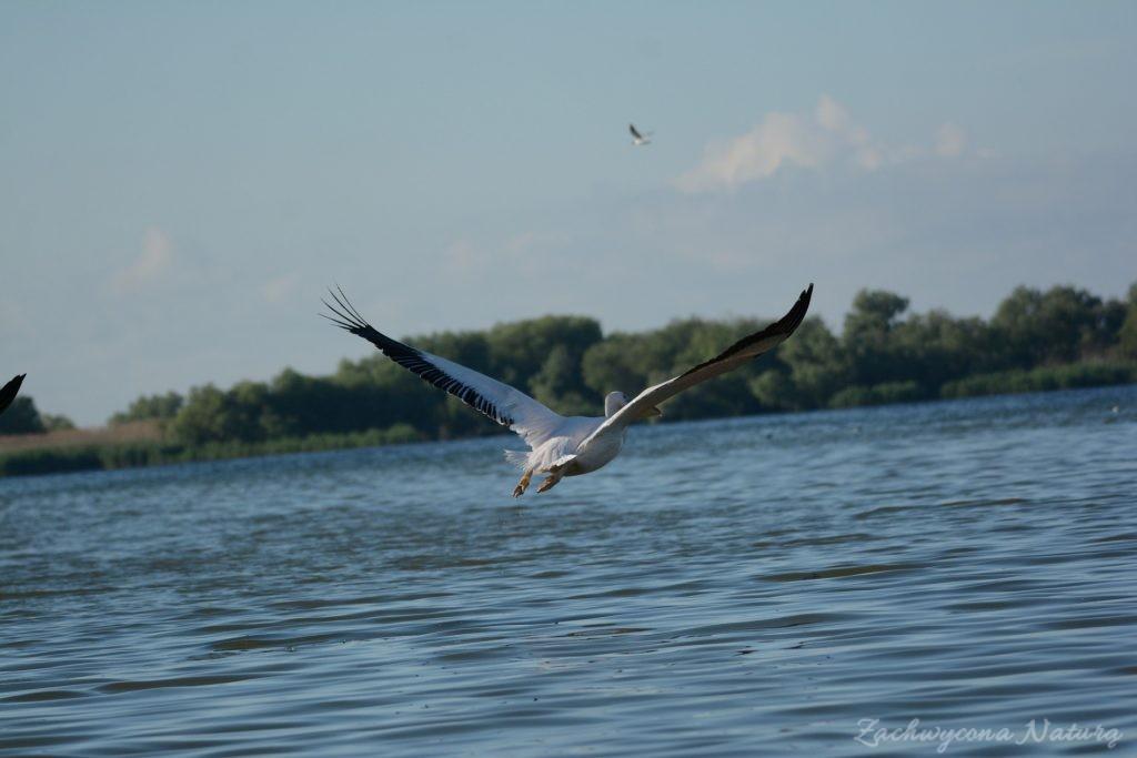 2 Gatunki pelikanów z Delty Dunaju - różowe i kędzierzawe (28)