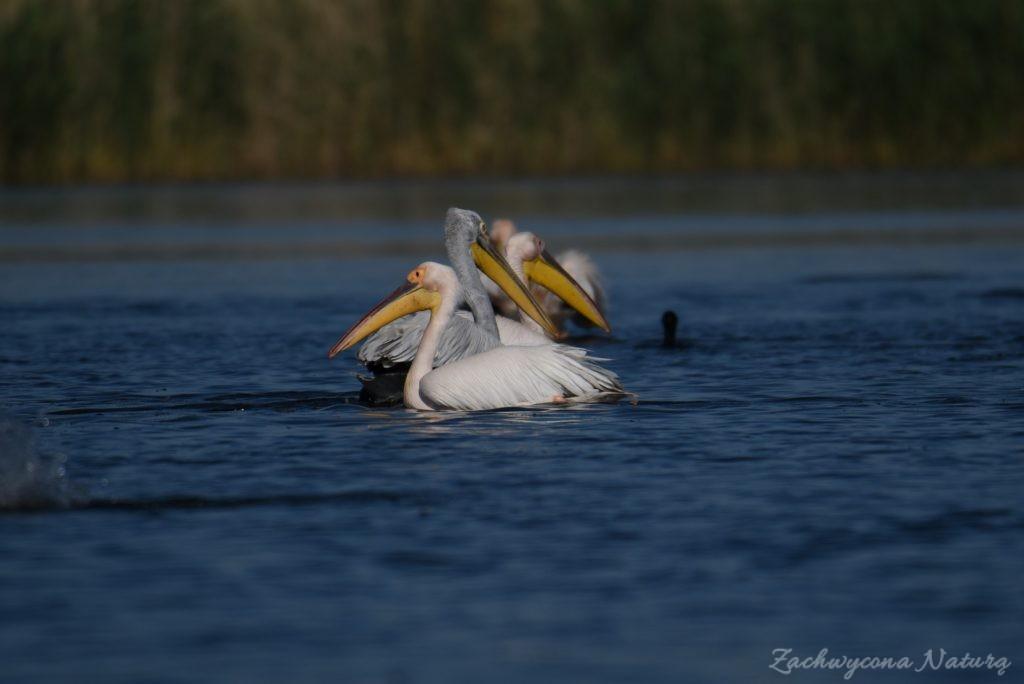 2 Gatunki pelikanów z Delty Dunaju - różowe i kędzierzawe (3)