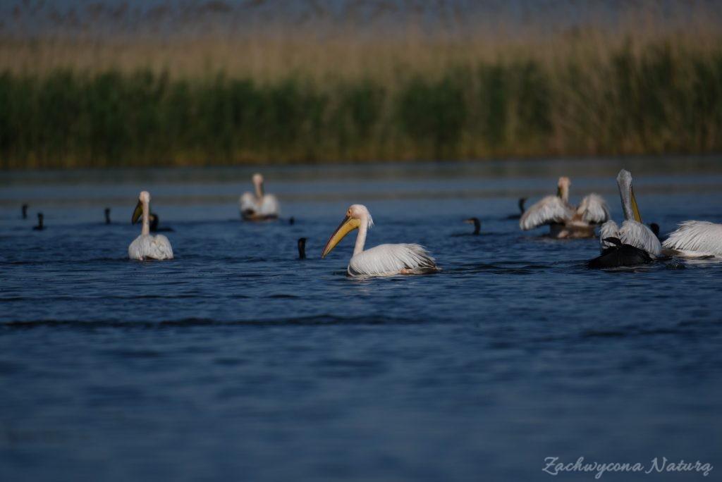 2 Gatunki pelikanów z Delty Dunaju - różowe i kędzierzawe (4)