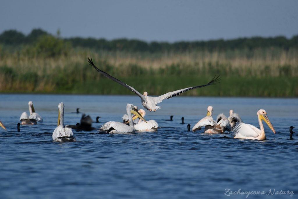 2 Gatunki pelikanów z Delty Dunaju - różowe i kędzierzawe (5)